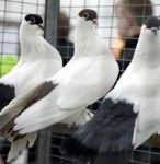 В Макеевке на этой неделе пройдёт выставка голубей
